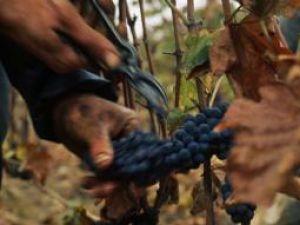 Schimbări: Reformarea viticulturii, cu bani de la UE