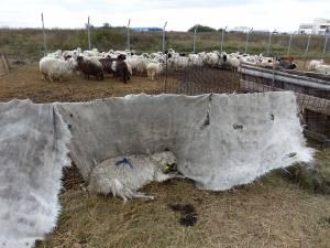 O turmă cu oi înfometate sau moarte, o imagine de groază  la câţiva metri de aeroportul internaţional
