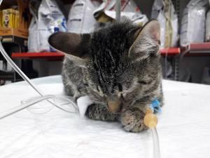 Pisica rănită, în îngrijirea medicilor