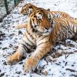 Baloo, tigrii de la circ, Pic și Poc, Simba și leoaicele sale, vedetele Parcului Zoologic Rădăuți
